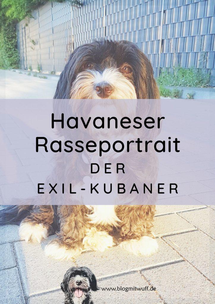 Havaneser Rasseportrait