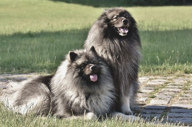 Langhaarige Hunde