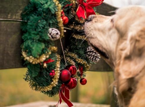 Hund mit Weihnachtskranz