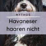 Mythos: Havaneser haaren nicht