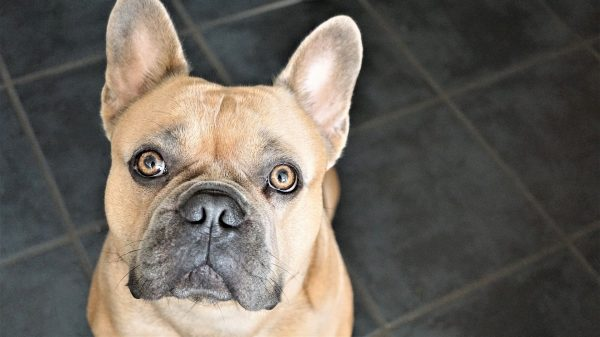 french-bulldog-4480149_1920